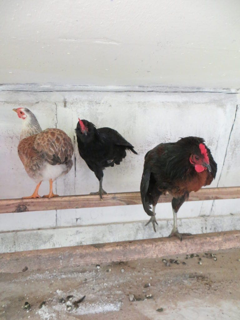 Schlafstangen im Hühnerstall