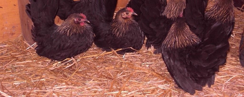 Stroh als Einstreu im Hühnerstall