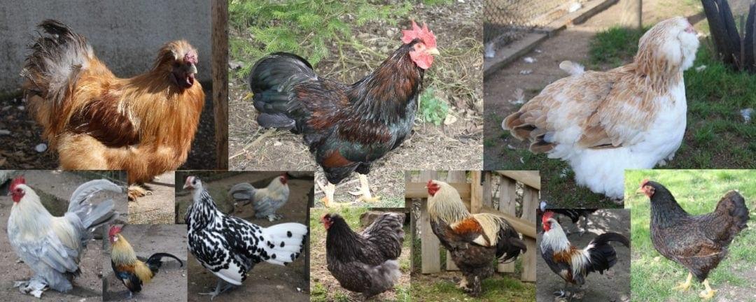 Übersicht der Hühnerrassen