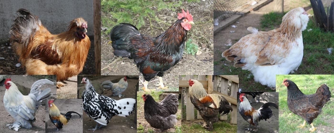 Hühnerrassen Übersicht