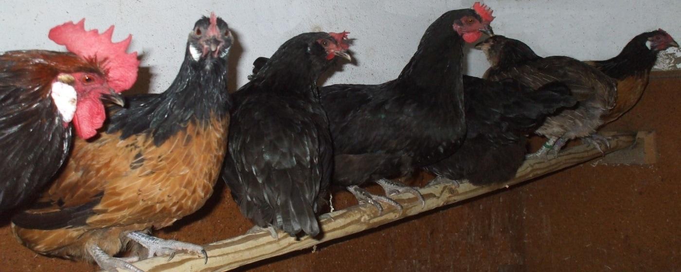 Einrichtung für den Hühnerstall
