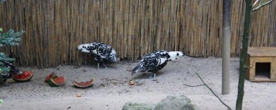 Haltung der Hamburger Hühner in großem Stall