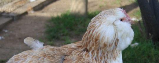 Kopf einer Lachshuhn Henne