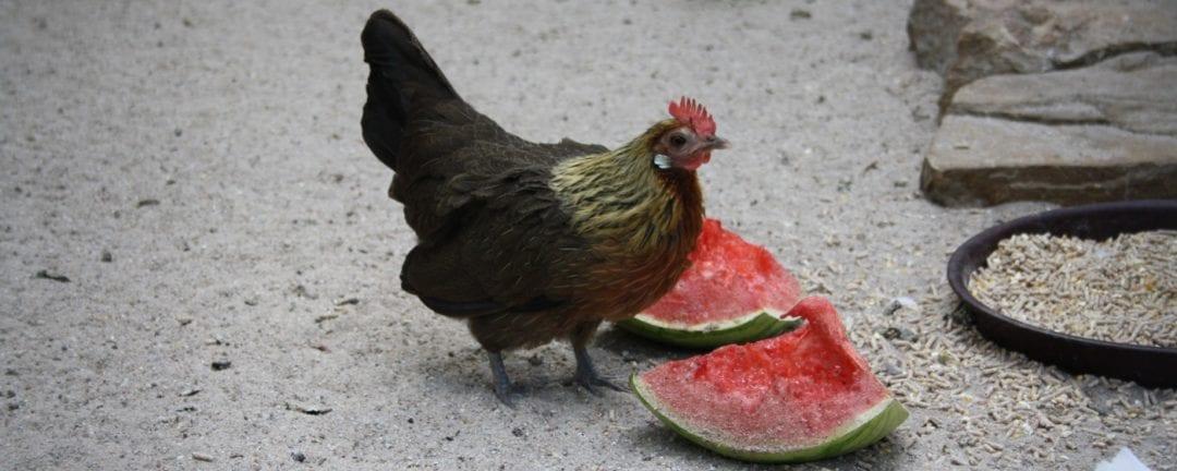 Die richtige Ernährung der Hühner