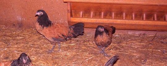 Ursprung der Vorwerkhühner