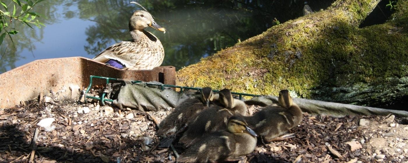 Entenfutter für Küken und ausgewachsene Enten