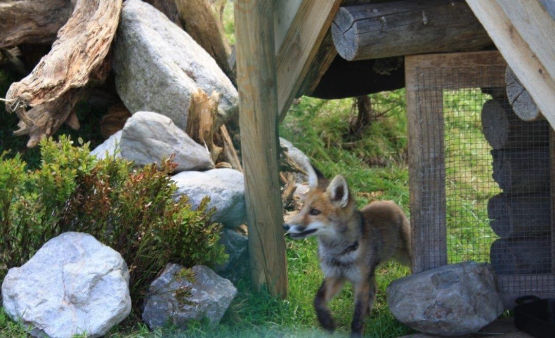 Der Fressfeind Fuchs am Hühnerstall