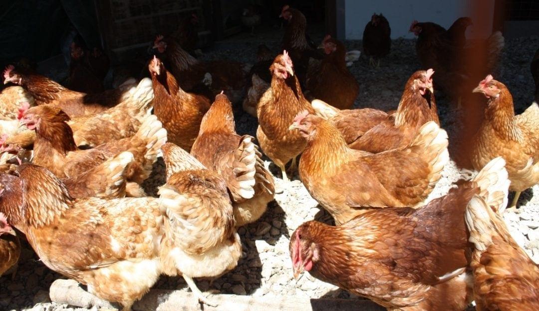 Wie groß soll der Hühnerstall sein?