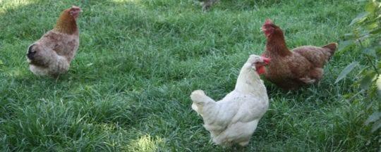 Legekorn - ideal für Legehühner