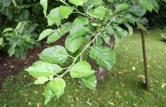 Blätter des Apfelbaumes