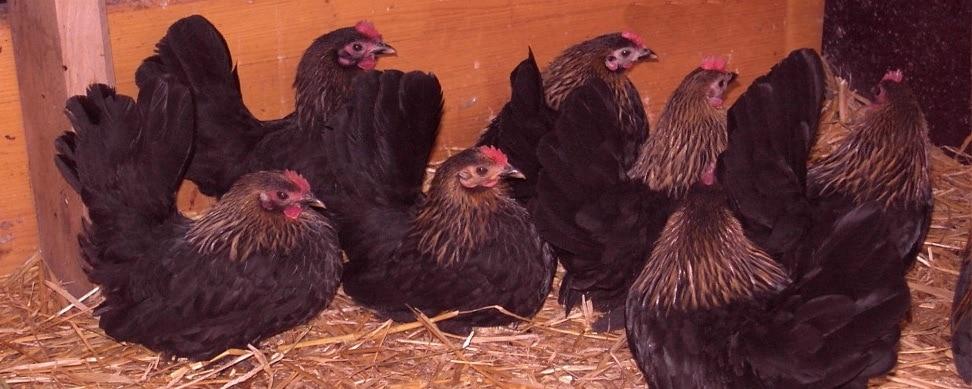 Haltung der Chabo Hühner