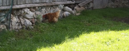 Hühnerfutter im Sommer