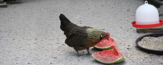 Futterzubehör für Hühner