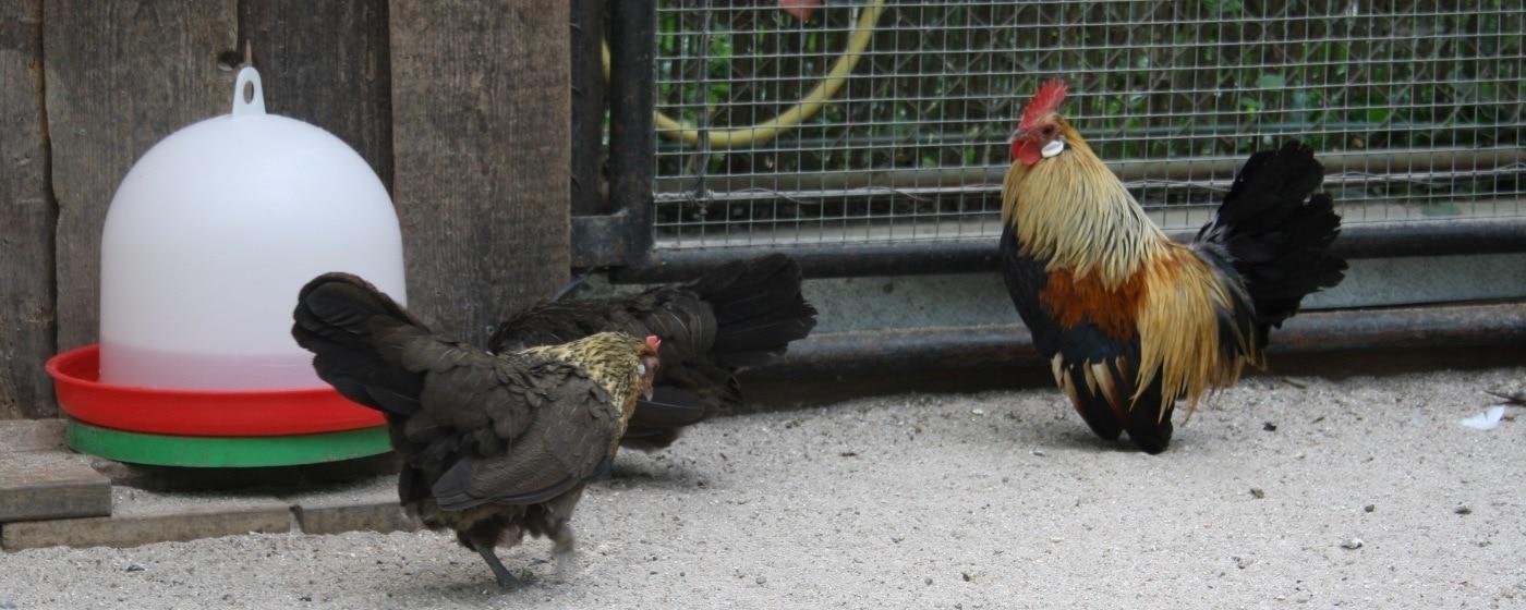Haltung der Holländer Zwerghühner