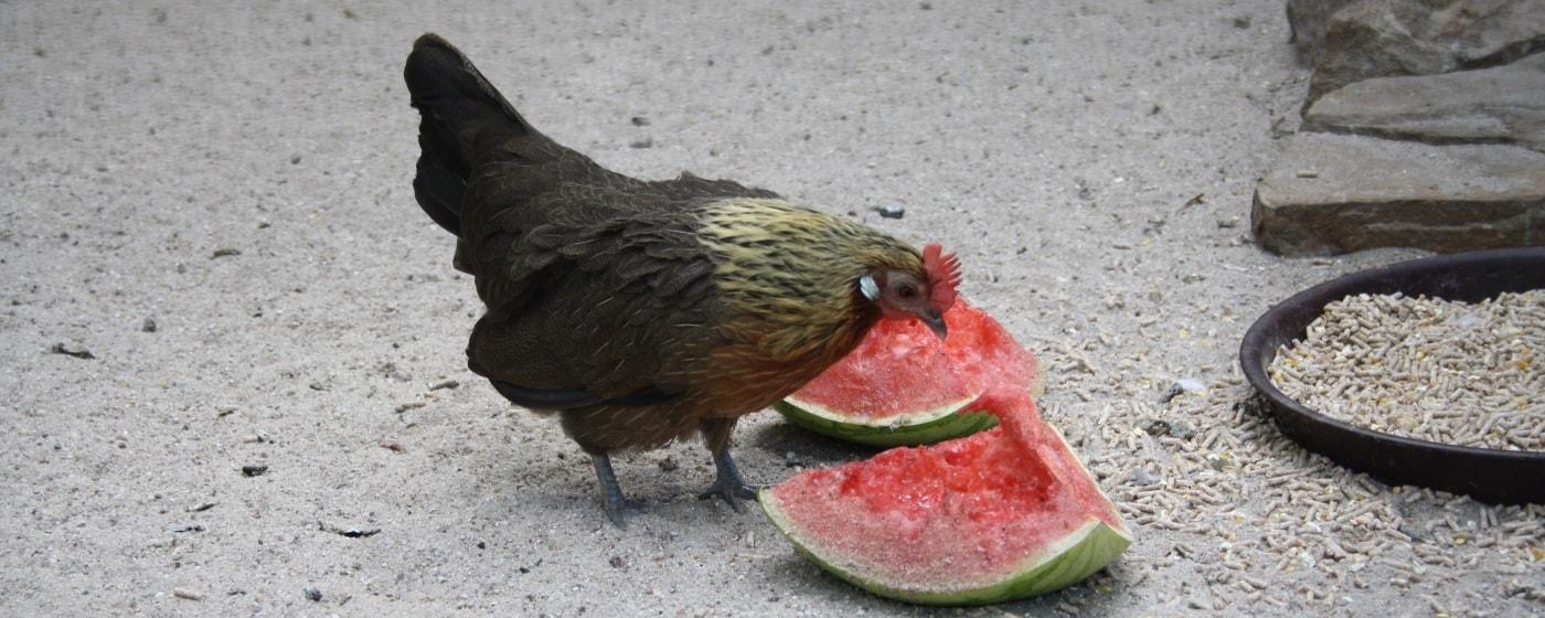 Hühnerrasse Holländer