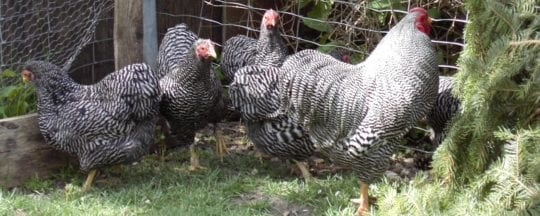 Hühnerrasse Zwerg-Wyandotten