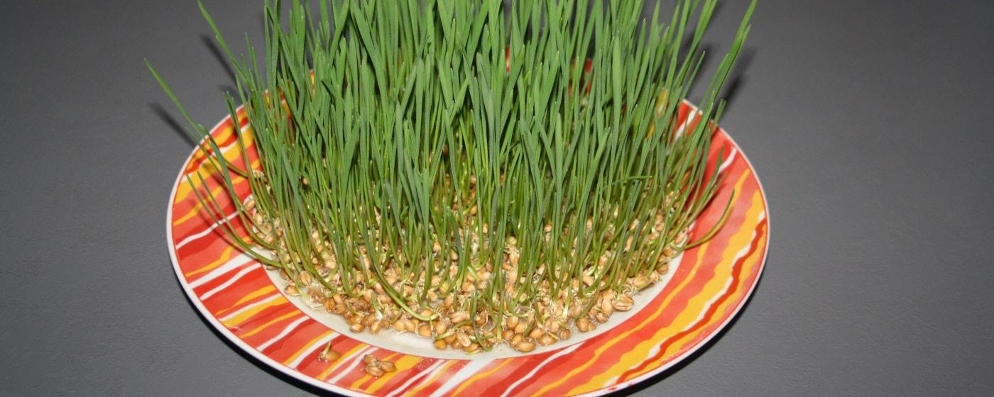 Gekeimtes Getreide als Futter