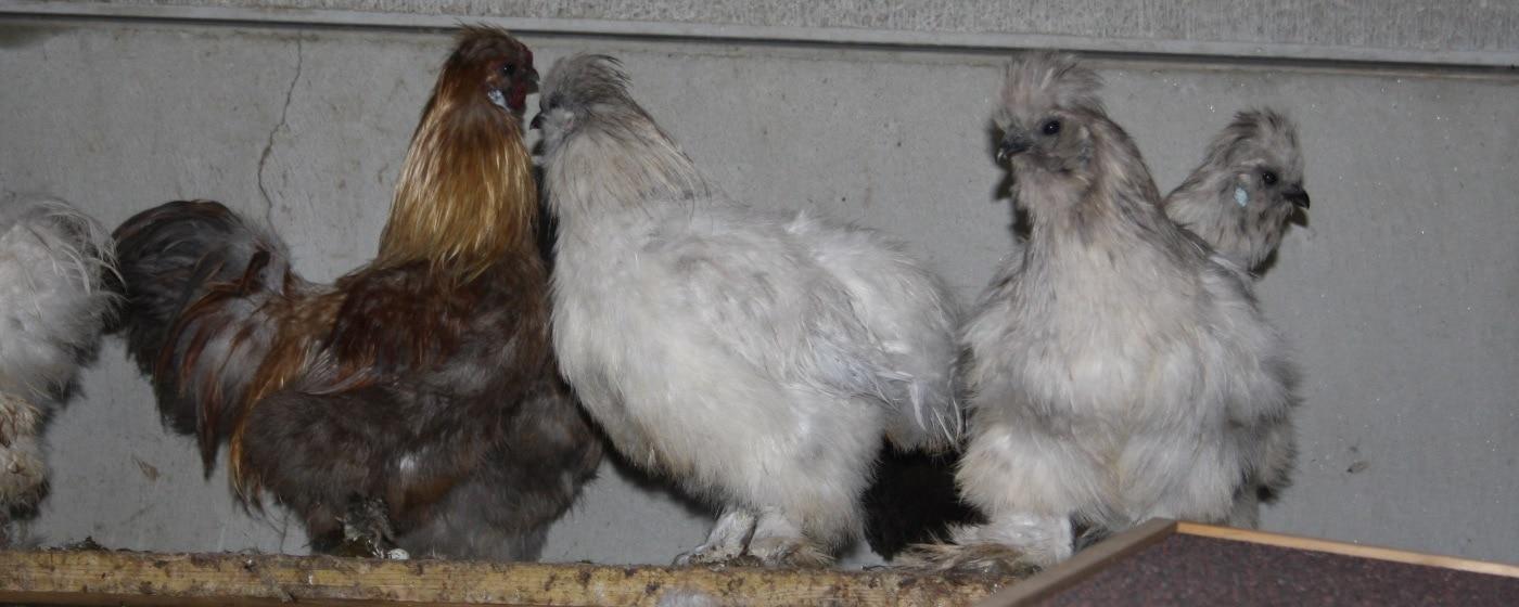 Herkunft der Rasse Seidenhühner