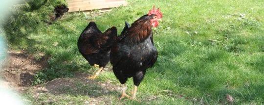 Hühnerrasse Zwerg Barnevelder