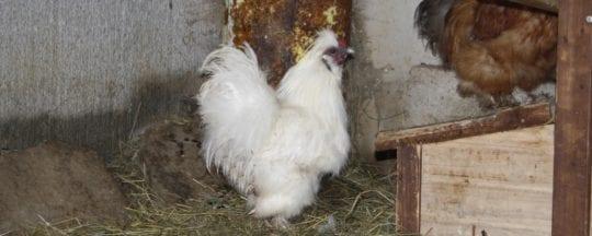Zuchtziele der Seidenhühner