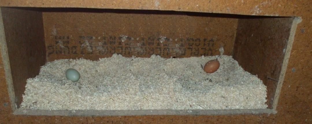 Prächtig Ab wann legen Hühner Eier? - Huehner-Hof.com beantwortet eure Fragen &AL_84