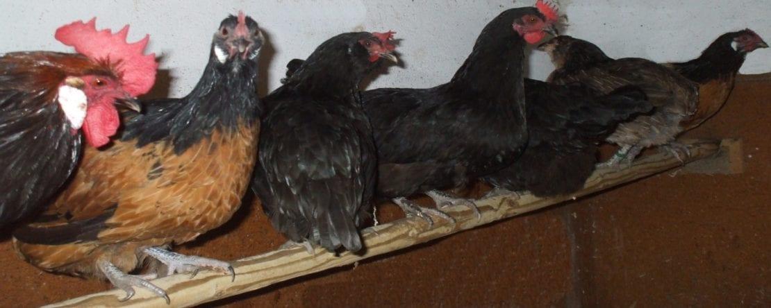 Sitzstangen als Einrichtung im Hühnerstall