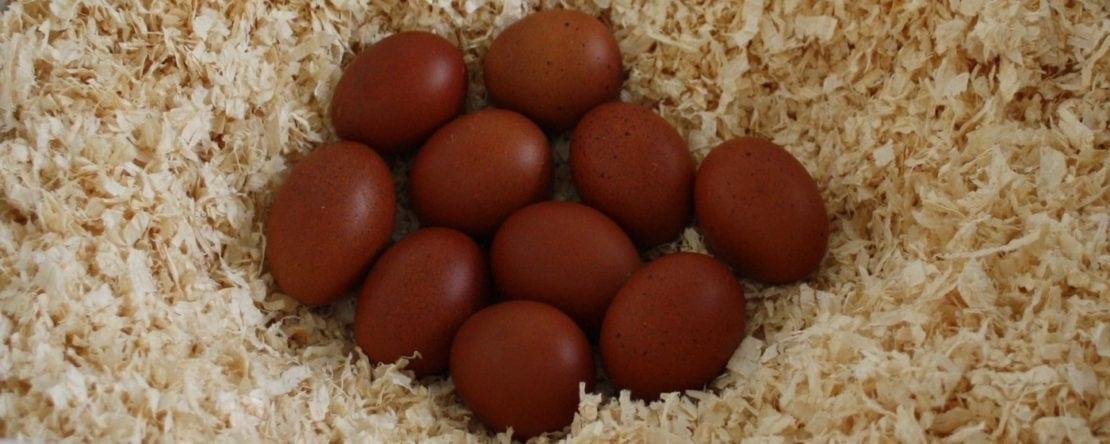 Hühner Züchten