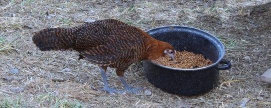 Hühnerrasse Brakel