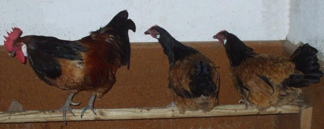 Milben an Hühnern bekämpfen