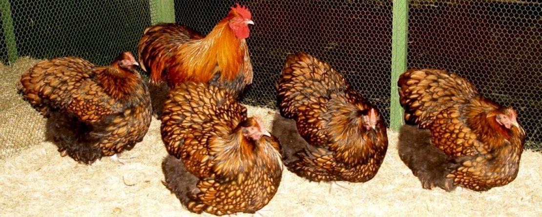 Orpington Hühner