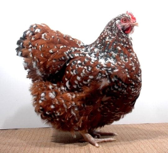 Orpington braun-porzellanfarbig