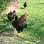 Auslauf für kleine Hühnerrassen