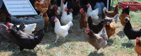 Häufige Fragen zur Haltung von Hühnern