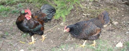 Zwerghühner - Kleine Hühnerrassen im Überblick