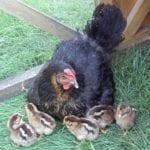 Zur Nachzucht benötigt man einen Hahn