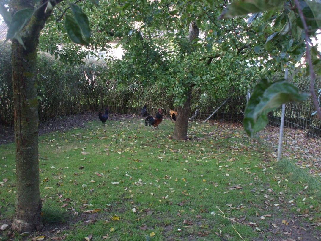 Bäume im Hühnerauslauf