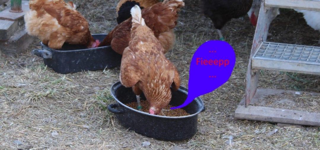 Geräusche beim Fressen - Typisch bei Hühnerschnupfen