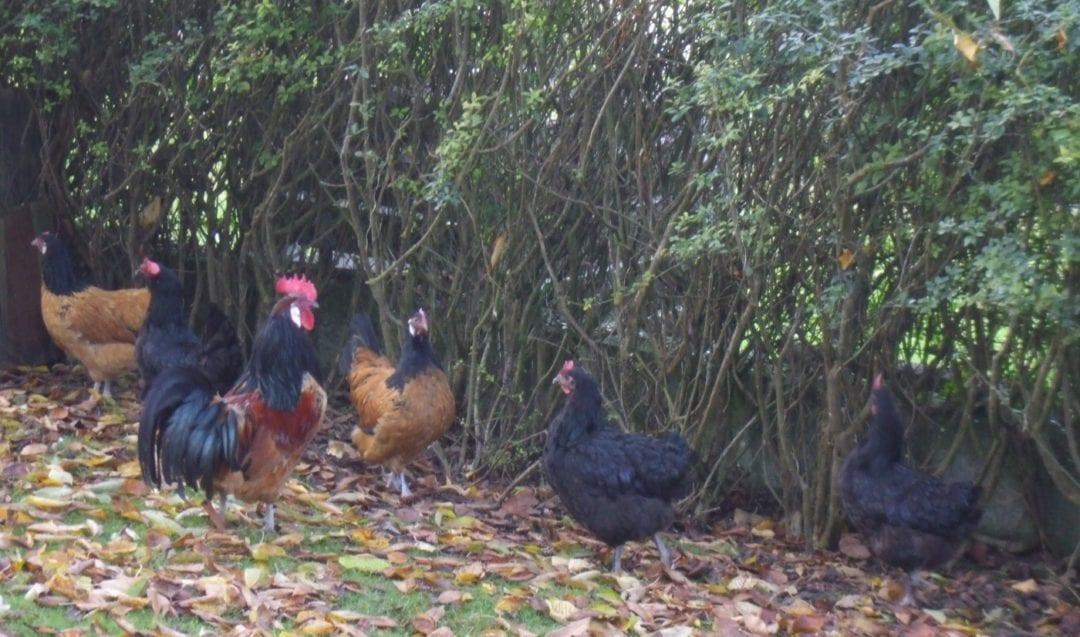 Eine Hecke im Hühnergarten
