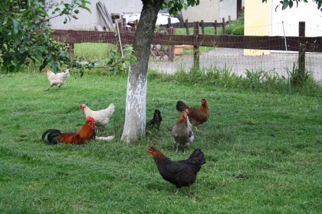 Hühner im Wohngebiet