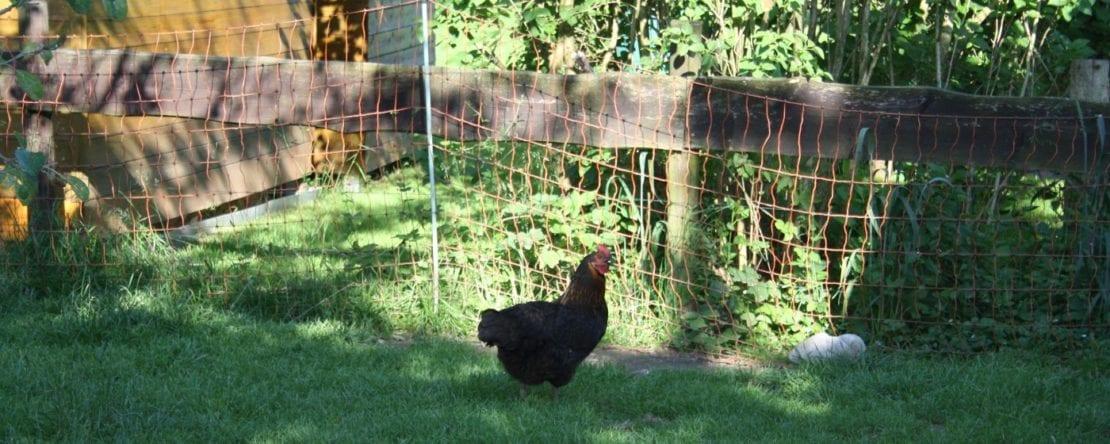 Hühnerhaltung im Wohngebiet