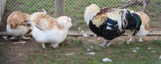 Hühner in der Mauser