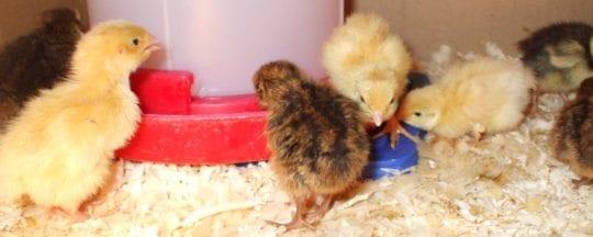 Richtige Bruttemperatur bei Hühnern