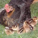 Eier ausbrüten - Die natürliche Brut