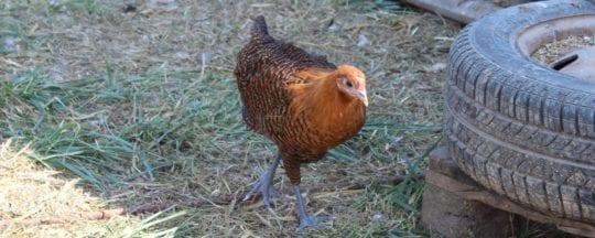 Ab wann legen Hühner Eier
