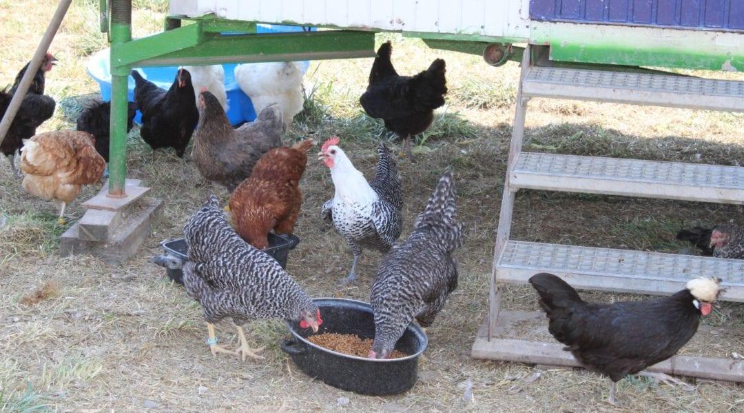 Wie lang legen Hühner - Verschiedene Rassen