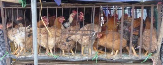 Hühner kaufen