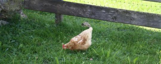 Wie viel Platz braucht ein Huhn?