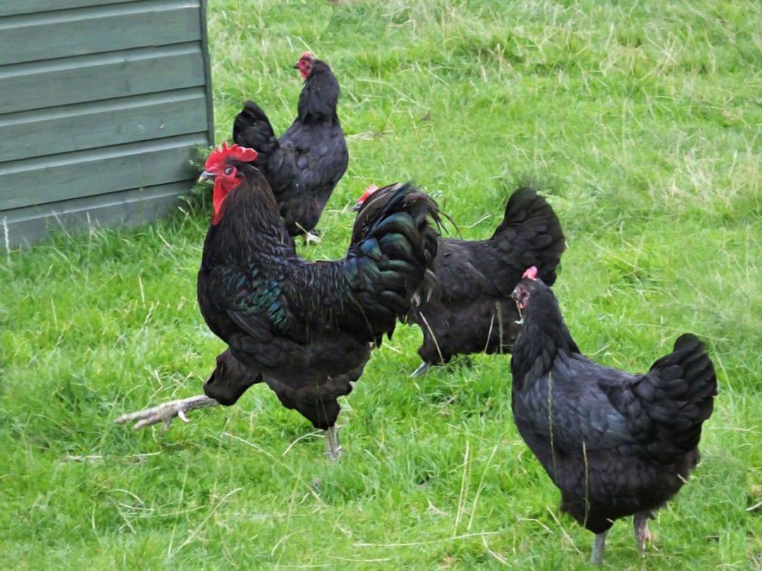 Haltung der Jersey Giant Hühner