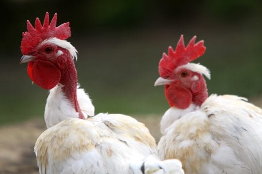 Nackthalshühner