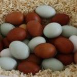 Verschiedene Eierfarben der Hühnereier